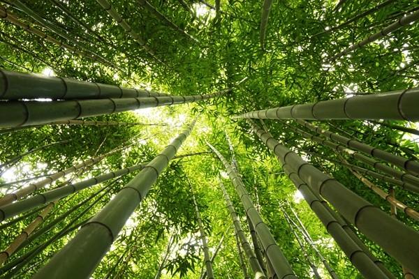 Acrylglasbild TAKEBAYASHI Bambus-Wald